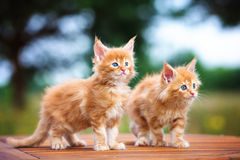Two red maine coon kittens Stock Image