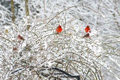 Two Red Male Cardinals Perch In Snowy Bush. Royalty Free Stock Photo