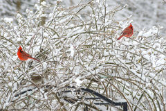 Two red male Cardinals perch in snowy bush. Royalty Free Stock Photos
