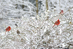 Two red male Cardinals, Rosy Fitch, perch in snowy bush. Royalty Free Stock Images