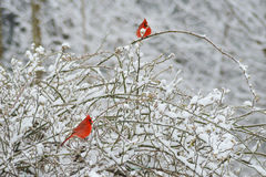 Two red male Cardinals, Rosy Fitch, perch in snowy bush. Royalty Free Stock Photography