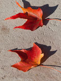 Two Red Maple Leaves Stock Image