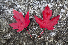 Two red maple leaves. Stock Photo
