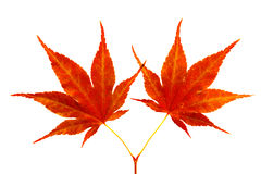 Two red maple leaves. Isolated on white with clipping path included Stock Images