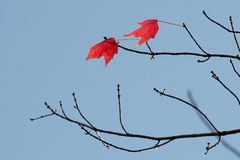 Two red maple leaves Stock Photo