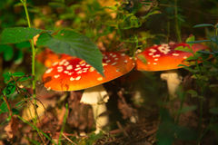 Two red mushroom in forest Stock Photos
