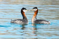 Red-necked Grebe Stock Photos