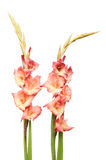 Two gladioli flower spikes Royalty Free Stock Image