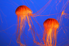 Two red-orange jellyfish Stock Image
