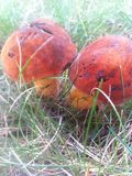 Two red and orange mushrooms Royalty Free Stock Photos