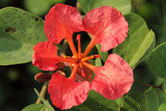 Two Red Orchid. Pride of De Kaap, Orchid Tree, Red Bauhinia, Nasturtium Bauhinia, African Plume, Red Orchid Stock Photos