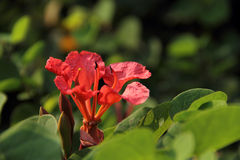 Two Red Orchid. Pride of De Kaap, Orchid Tree, Red Bauhinia, Nasturtium Bauhinia, African Plume, Red Orchid Stock Photo
