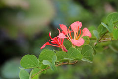 Two Red Orchid. Pride of De Kaap, Orchid Tree, Red Bauhinia, Nasturtium Bauhinia, African Plume, Red Orchid Stock Image