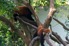 Two red pandas sleep on the tree. In China Royalty Free Stock Photo