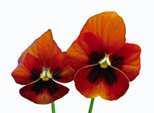 Two Red Pansy Flowers with Black Face. Two red annual viola flowers with black face isolated against a white background Stock Photos