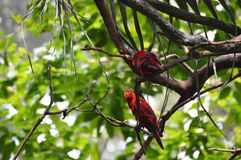 Two Red Parrot Stock Photography