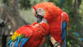 Two red parrots cleaning each other and french Kissing. Two red parrots cleaning each other and french Kissing, slow motion stock video