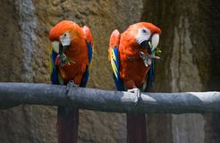 Two red parrots eating Stock Image