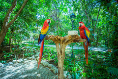 Two red parrots Stock Images