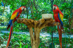 Two red parrots Stock Photo