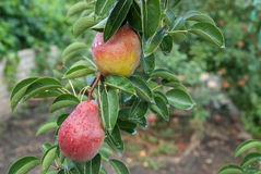 Two red pears with raindrops Stock Photography