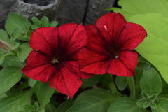 Two red petunias in a sea of green leaves. And side-by-side stock photos