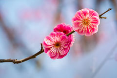 Two red plum flowers. Closeup in the winter Stock Image