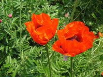 Two red poppies. In the park Royalty Free Stock Photography