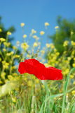 Two red poppies Stock Image