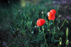 Two red poppies Stock Images