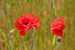 Two red poppies royalty free stock photos
