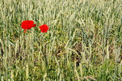 Two red poppies in corn field Stock Photography