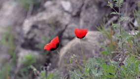 Two red poppies gently swaying in the wind on a background of stones and greenery.  stock video footage