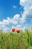 Two red poppies on green field Stock Images