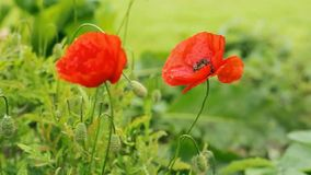 Two red poppies isolated on gray background. stock video