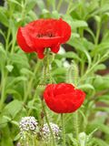 Two red poppies. Springtime. Two red poppies stand out amid the green foliage. Luminosity, joy, spring stock images