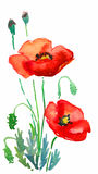 Two red poppies Royalty Free Stock Image