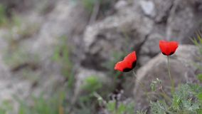 Two red poppies swaying the breeze against the background of rocks and greenery stock video footage