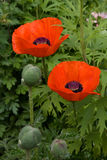 Two red poppy. Two red blossom out flowers of a poppy and buds with a bright green grass Royalty Free Stock Image
