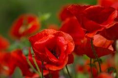 Two red poppy Stock Photos