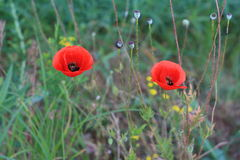 Two red poppy on the field, macro shot. Bright red poppy flowers in spring close Stock Photo