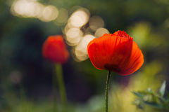 Two red poppy flower Stock Image