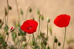Two red poppy flower Stock Images
