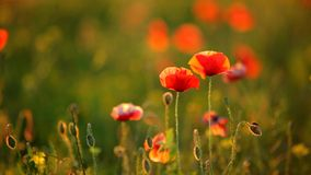 Two red poppy on sunset on a sunny day stock video