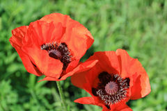 Two red poppys Royalty Free Stock Image
