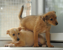 Two red puppy play. Two red terrier puppy play Stock Photo