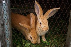 Two red rabbit sitting in a cage Royalty Free Stock Photography