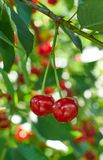 Two red ripe cherries growing on the tree Stock Photo