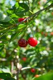 Two red ripe cherries growing on the tree Stock Photos