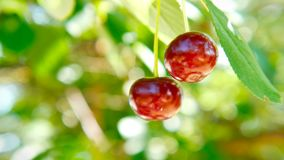 Red Ripe cherry on a tree branch. Two red ripe cherries hang on a tree. You can hear the birds singing stock video footage